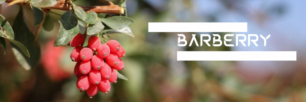 barberry pic
